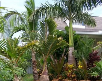 Royal Palm Tree Seeds, Roystonea regia - 25 Seeds