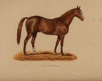 1890 0riginal Antique Natural History Chromolithograph of a horse Wellingtonia Animal Print-  Nature print  Very Rare