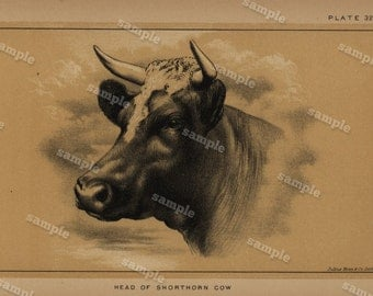 1888 Cattle and Dairy Farming Engraving by Julius Bien Natural History decorative art Authentic  Head of  Shorthorn  Cow farm animal