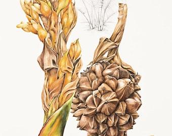 Mangrove Botanical Print, Nypa fruticans, original by Australian artist Julie McEnerny A5 size.