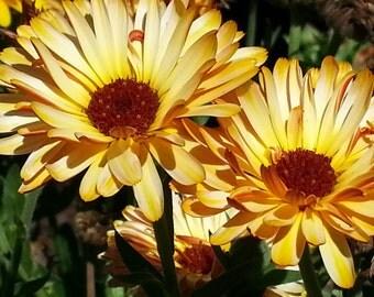Calendula seeds, Marigold seeds, calendula flowers edible flower  medicinal herb cosmetic herb dried calendula flower seeds marigold seeds