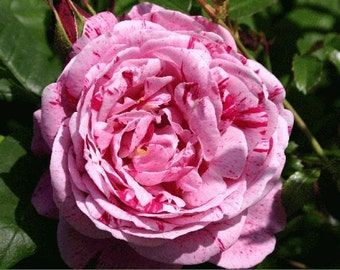 Pink red stripped rose seeds,400, flower roses seeds,roses from seeds,planting roses,gardening,Ferdinand pichard rose,seeds for roses