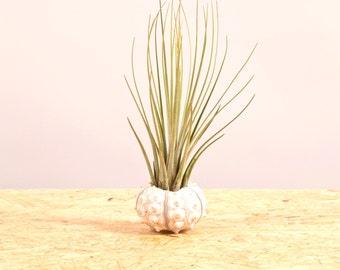 White Sea Urchin + Juncea
