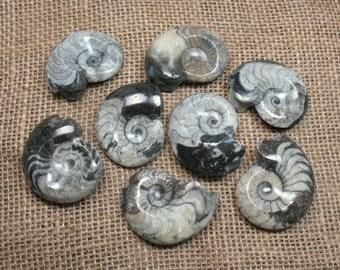 One Goniatite Fossil Specimen - Item 73032