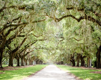 "Charleston Art, Road Photography, Tree Lined, Live Oaks, Art Print, Low Country, Tree Art, Spanish Moss, Green Wall Decor - ""Antebellum"""