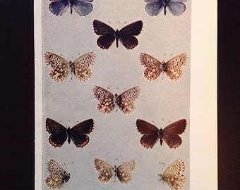 Vintage butterfly natural history illustration