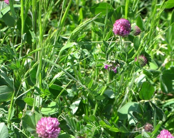 ORGANIC Red Clover or Trifolium pratense or красный клевер Flowers and Leaves