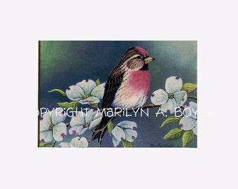 MATTED 5 X 7 PRINT of REDPOLL; mat is 8 x 10 inch, song bird, garden, dogwood flowers, wall art, nature
