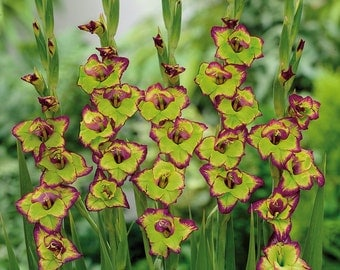 Gladiolus Bulbs - FLEVO LAGUNA - Sword Lily - Chartreuse & Red Blooms - 6 Bulbs