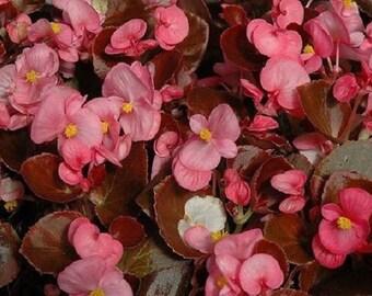 30+ Rose Night Life Begonia / Annual Flower Seeds