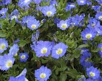 Nolana Varieties-(Chilean Bellflower)  Blue or White 50 seeds each pack