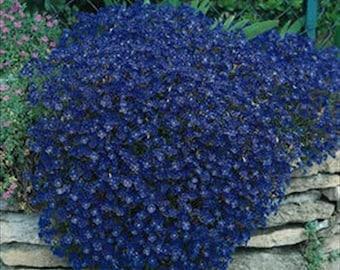 Rock Cress Aubrieta Cascading Blue * 35 Seeds