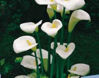 Calla Lily - Zantedeschia Aethiopica * Seeds