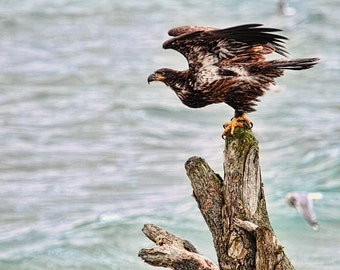 American Eagle, Bald Eagle, Nature Photography, Ocean Art, Driftwood, Wildlife Photography, Beach Photography, Raptors, West Coast Eagles