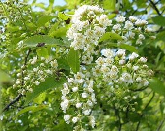 2 Chokecherry Plants(Prunus Virginiana)FALL SALE!