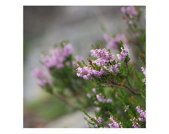 heather flower photo, summer forest print, square print landscape photography, interior design, Living room, Bedroom wall decor purple color