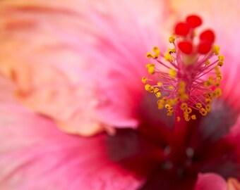 Amaryllis Pink