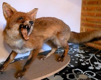 Antique Taxidermy Fox Mount