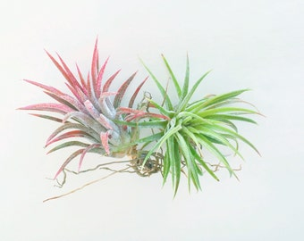 Two Air Plants. Tillandsia Mexican Fuego - Pack of Two