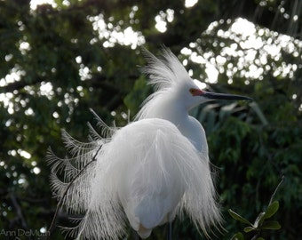 Bird Photography, Snowy Egret, St. Augustine, FL,  Fine Art Print, Home Decor, 5x7, 8x10, 11x14