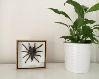 Taxidermy Giant Tarantula Spider -  Eurypeima Spinicrus