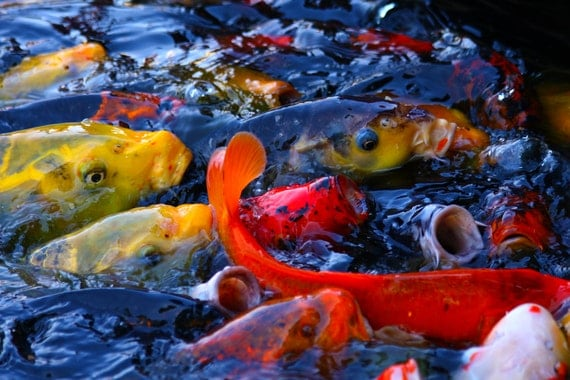 "Metal Art Print ""Feeding Frenzy II"", Koi Photography Printed on Aluminum with Flush Frame, Various Sizes, Special Order"