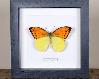 Brimstone Wing Butterfly in Box Frame (Hebomoia leucippe)