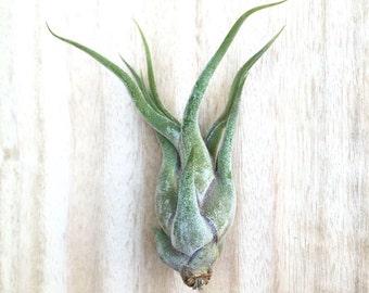 Tillandsia caput medusae air plant