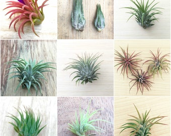 3 Pack assorted Tillandsia ionantha air plants - Rainforest Alliance Donation Item!