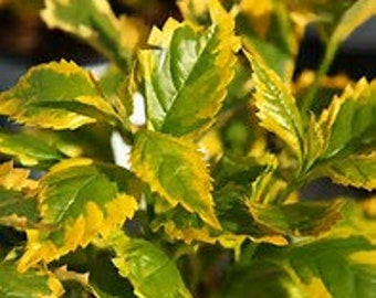 Duranta erecta Gold Edge