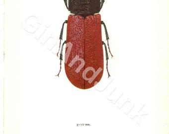 Vintage Bug Print - Beautiful Vintage Beetle Illustration from 1908