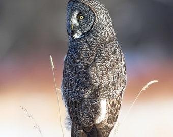 Owl Photo, Owl Print, Owl Image, Great Grey Owl, Nature Print, Nature Photo, Bird Picture, Bird Photography, Beautiful Owl, Amazing Owl, Owl