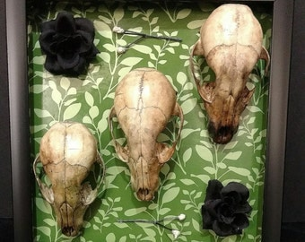 Raccoon Skull Shadowbox Display