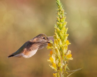 Hummingbird, Hummingbird Photo, Southwest Art, Fine Art Photography, Hummingbird Art, Hummingbird & Flowers