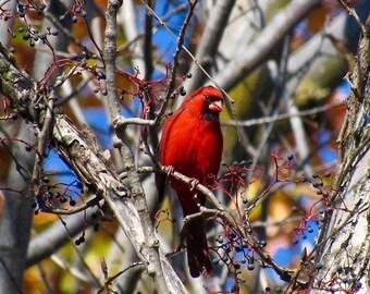 Michigan Photography, Great Lakes, Cardinal, Bird, Nature Photography, Bird Art, Nature, Blue Sky, Wall Art, Birding, Bird Photo, Berries