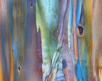 TREE BARK, RAINBOW Eucalyptus