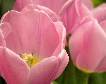 Pink Tulip Garden Photograph #233