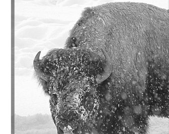Canvas, Winter Forage, Buffalo photo, bison, wildlife photo, wild animal photography, gift for him, man cave art, wall art, Yellowstone