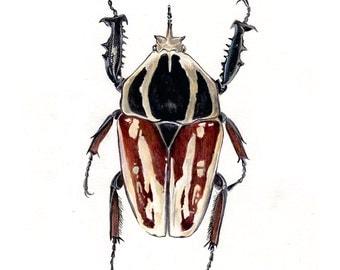 Mecynorhina ugandensis - Entomological Art Print - Scientific Illustration