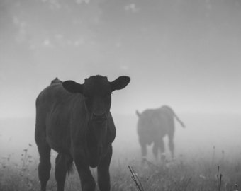 Calfs in the morning fog