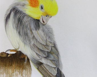 Hawaiian Bird - Original Colored Pencil Bird Drawing, 11in x 14in colored pencil and watercolor
