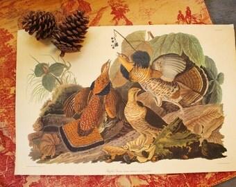 vintage Audubon bird print - Ruffled Grouse