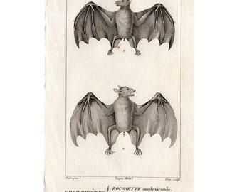 1816 ANTIQUE BAT ENGRAVING original antique print from 1816  - cheiroptera vampire bat - flying fox - fruit bat - chauve souris - no. 4