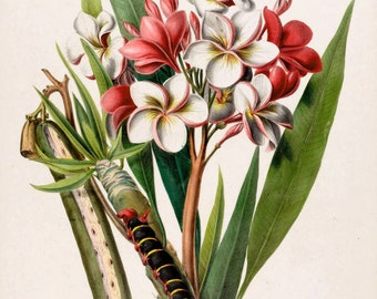 antique french botanical print tropical flower plumeria illustration digital download