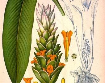 antique french botanical print curcuma turmeric illustration digital download