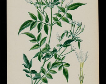 1896 Antique print, BOTANICAL print, lovely chromolithograph of a white Jasmine flower