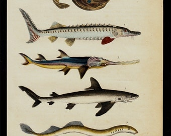 1850 Antique FISH print, FISHES, ray, shark, eel, sawfish,  hand colored engraving