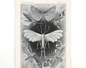 Pull Down Chart - Ernst Haeckel Tineida Vintage Moths Reproduction Print. Antique German Science Plate. Insects Diagram - CP270CV