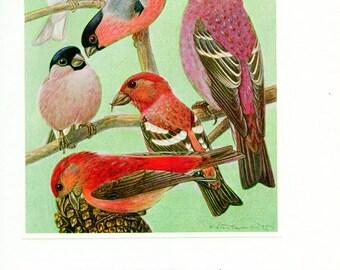 1961 Vintage finches print Vintage bird poster finch bird print finch poster Bird art Bird gift bird decor Ornithology gift