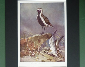 1930s Antique European Golden Plover Print, Wader Decor, Available Framed, Bird Art, Old Ornithology Gift for Bird Watcher, Allen W Seaby
